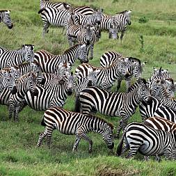 Zebraer i Lake Mburo National Park