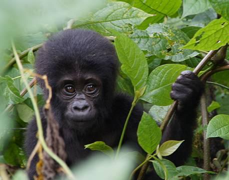 Gavekort gorilla park