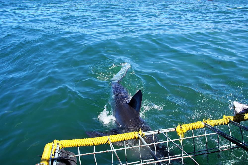 18702599785 Ansigt til ansigt med Sydafrikas hvide haj